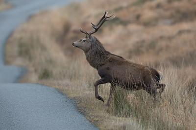 Red Deer stag-6112