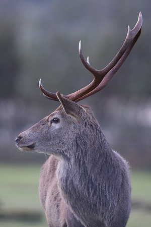 Red Deer stag-9829