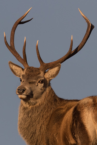 Red Deer stag-3639