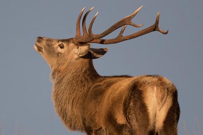 Red Deer stag-3574