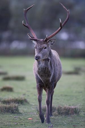 Red Deer stag-9817