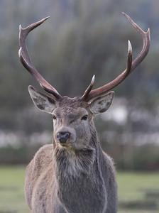 Red Deer stag-3132