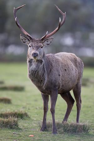 Red Deer stag-9799