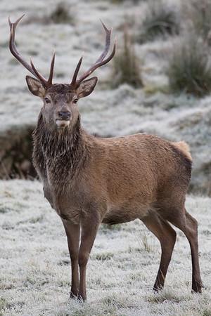 Red Deer stag-2749