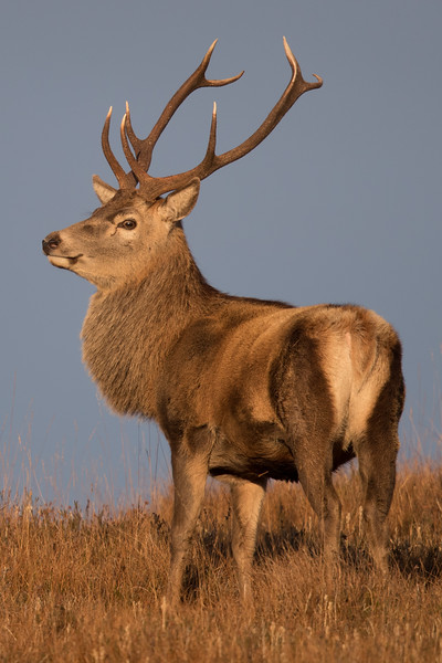 Red Deer stag-3529