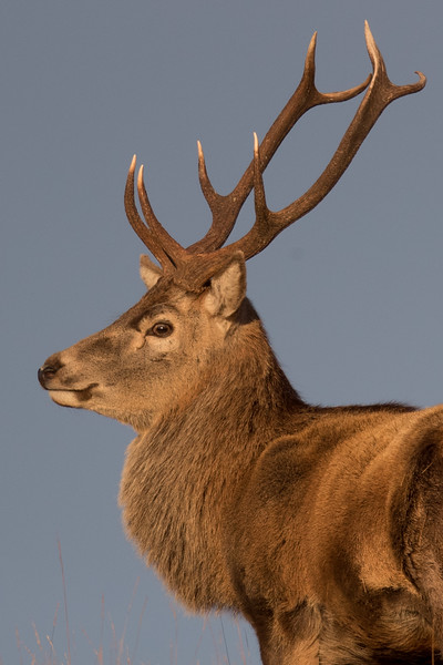 Red Deer stag-3591