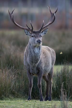 Red Deer stag-9870