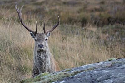 Red Deer stag-3187