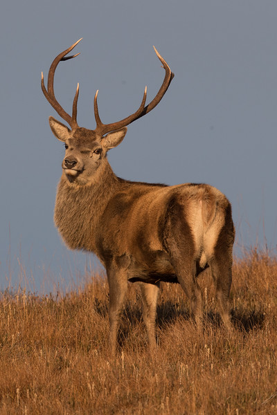 Red Deer stag-3632