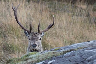 Red Deer stag-3182