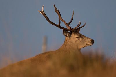 Red Deer stag-3454