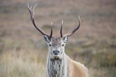 Red Deer stag-3199