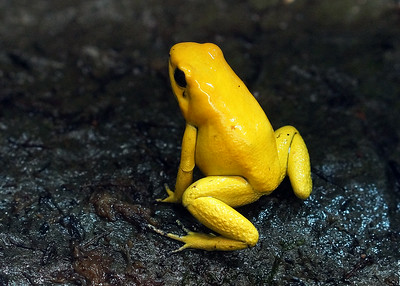 GOLDEN POISON ARROW FROG - COLOMBIA