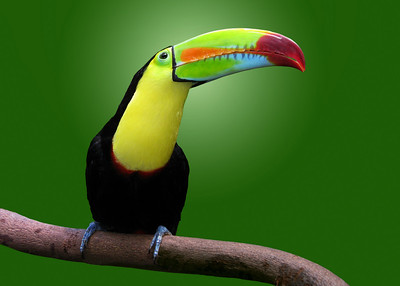 KEEL BILLED TOUCAN - COPAN, HONDURAS