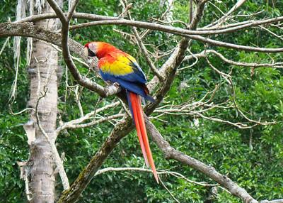 SCARLET MACAW - COPAN, HONDURAS