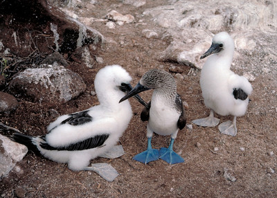 BLUE FOOTED BOOBIES - GALAPAGOS ISLANDS