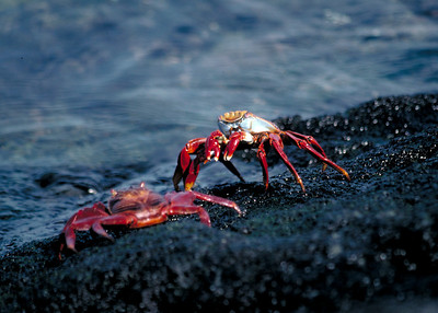 SALLY LIGHTFOOT CRAB - GALAPAGOS ISLANDS