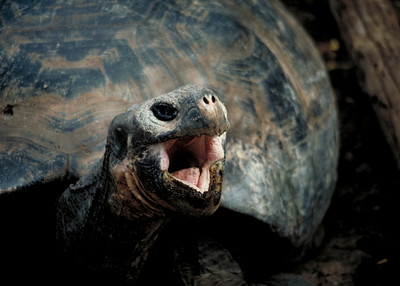 GIANT TORTOISE - GALAPAGOS ISLANDS