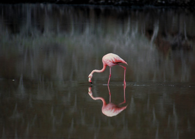FLAMINGO - GALAPAGOS ISLANDS