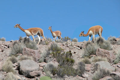 VICUNAS - LAUCA NATIONAL PARK, CHILE