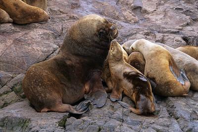 SOUTHERN SEA LIONS - BEAGLE CHANNEL