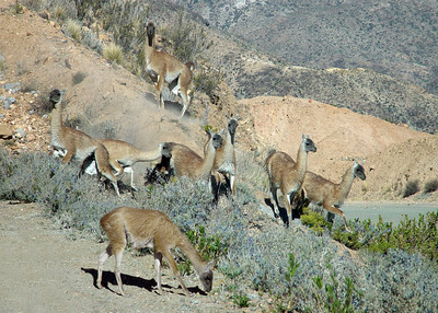 GUANACOS - LAUCA NATIONAL PARK, CHILE