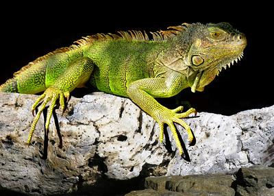 GREEN IGUANA - ROATAN, HONDURAS