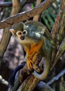 SQUIRREL MONKEY - COSTA RICA