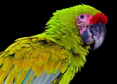 GREAT GREEN MACAW - COPAN, HONDURAS