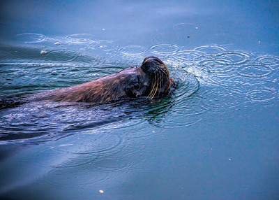 SOUTHERN SEA LION - CHILE