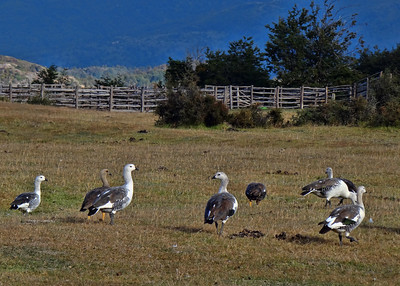 UPLAND GEESE - TORRES DEL PAINE, CHILE