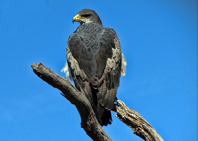BLACK CHESTED BUZZARD EAGLE - ARGENTINA