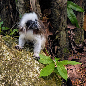 COTTON TOP TAMARIN - COLOMBIA