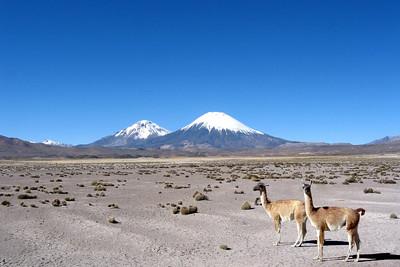 GUANACOS - LAUCA NATIONAL PARK, CHILE