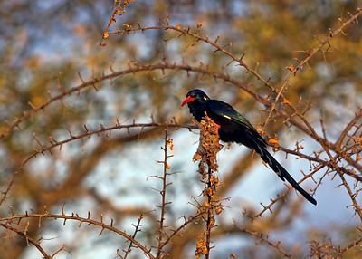 GREEN WOOD HOOPOE - GOMO GOMO
