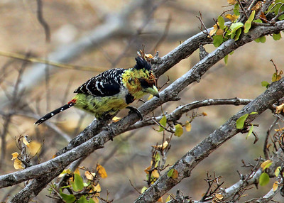 CRESTED BARBET - GOMO GOMO