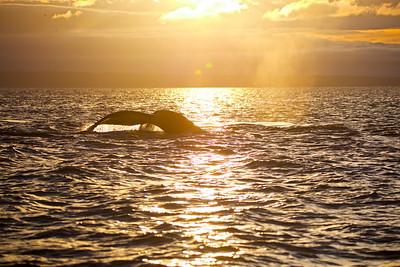 Humpback at Sunrise BC