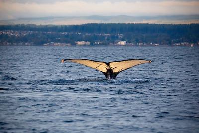 Humpback Whale Tail-Strait of Georgia BC