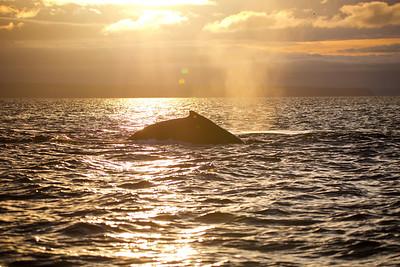 Humpback in BC
