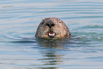 Sea Otter-0704