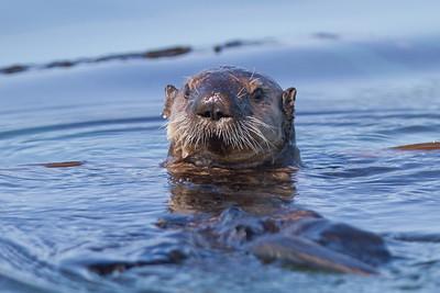 Sea Otter-2993