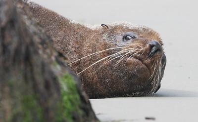 NZ Fur Seal-6088