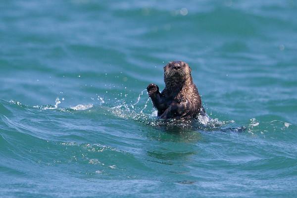 Sea Otter-2935