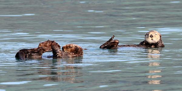 Sea Otter-4328