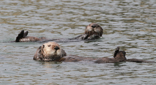 Sea Otter-0494