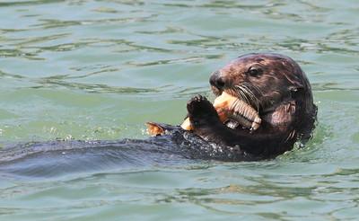 Sea Otter-1683
