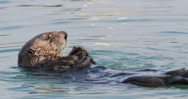 Sea Otter-0692