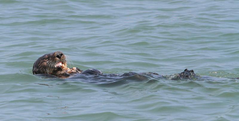 Sea Otter-1729