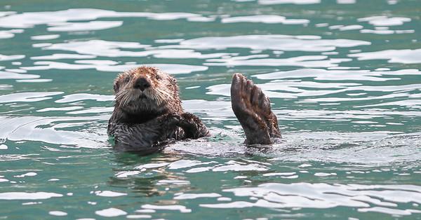 Sea Otter-3345