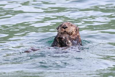 Sea Otter-3365